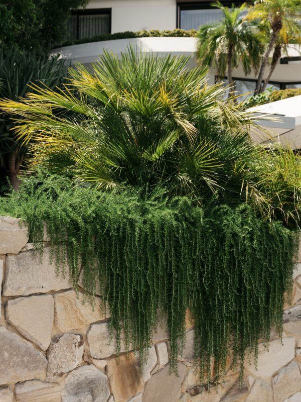 Sandstone-Garden-Bed-With-Trailing-Rosemary